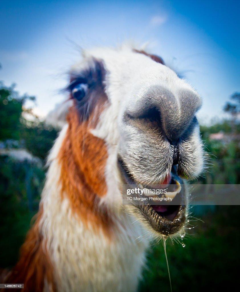 llamas : Stock Photo