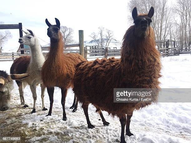 Llamas Standing On Snow Covered Field