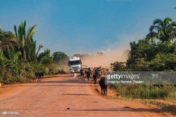Loaded grain truck & cattle on the road