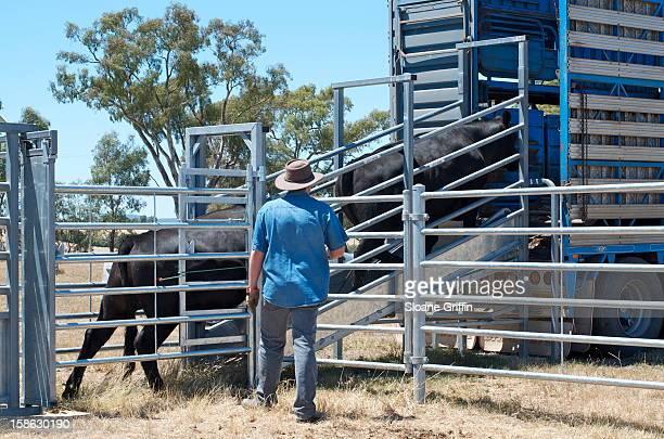 Loading cattle onto truck