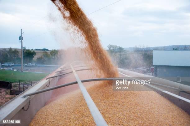 Loading corn into grain truck after harvesting in Dalmatia Pennsylvania USA