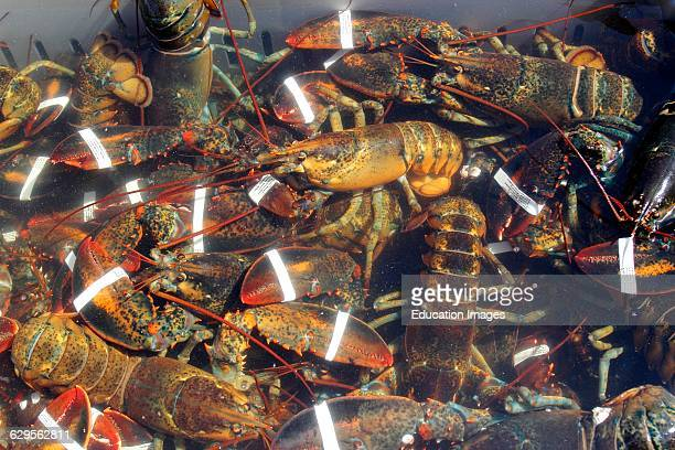 Lobster catch at harbor Vinalhaven Island Maine New England USA