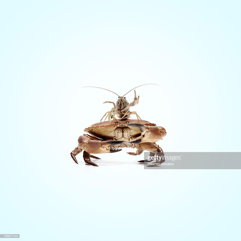 lobstermayhem crabstack : Stock Photo