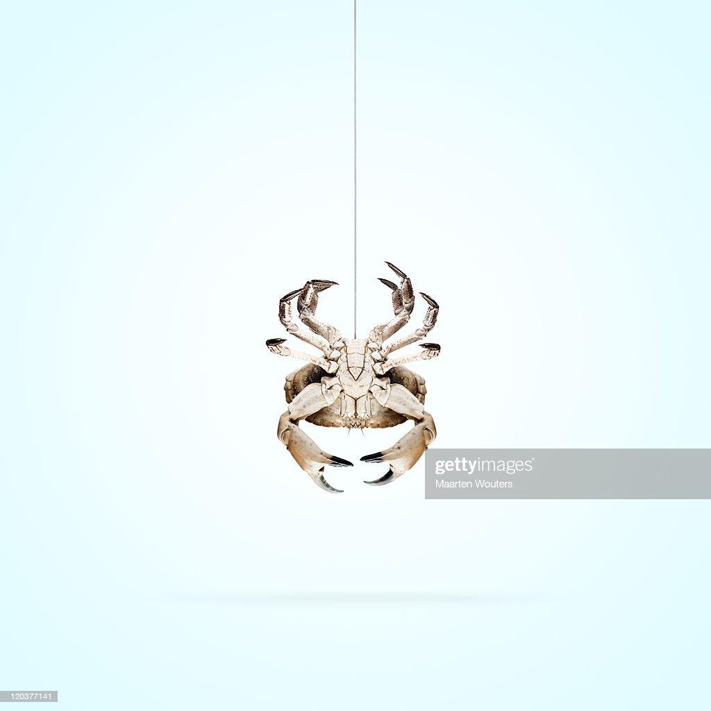 lobstermayhem spidercrab : Stock Photo