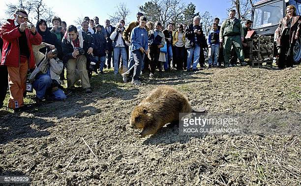 Local environmentalist release from a container one of 22 beavers brought from Bavaria to resettle oxbow lake Obedska Bara Nature Reserve park...