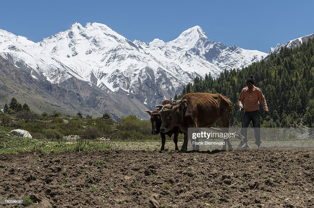 A local farmer ploughing a field, using oxes, in Chitkul, the last village of Sangla Valley, located at 3.400 m and surounded by snow covered mountains..