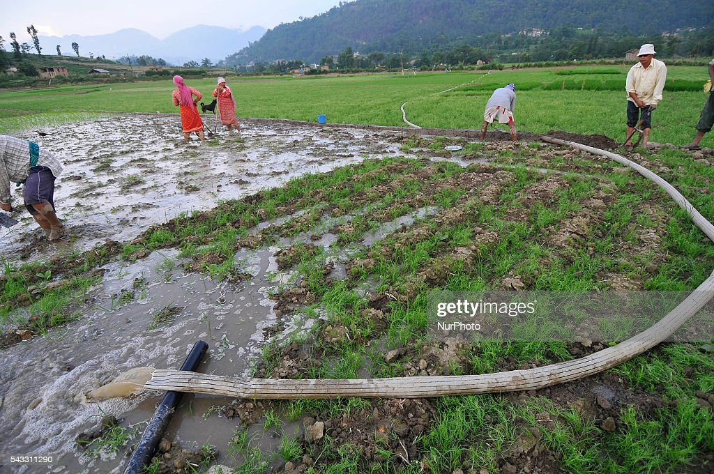 Local farmer's arranging water, which was pumped from Bagmati river for Plants Rice Saplings at Khokana, Patan, Nepal on June 27, 2016. Due to the less rainfall on monsoon season, Most of the people of Khokana Plants Rice by pumping water from nearer Bagmati River, which cost additional of NRs 500 (US$ 5) per hour for pump charge.