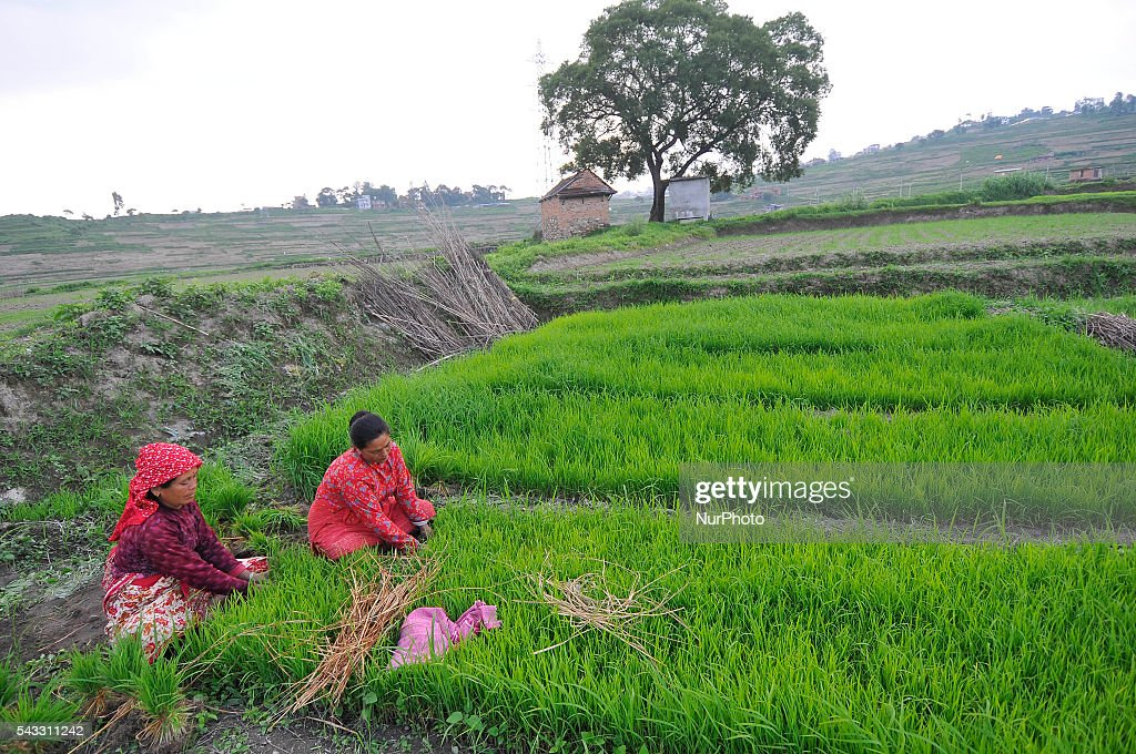 Local farmer's picking Rice Saplings for Plantation at Khokana, Patan, Nepal on June 27, 2016. Due to the less rainfall on monsoon season, Most of the people of Khokana Plants Rice by pumping water from nearer Bagmati River, which cost additional of NRs 500 (US$ 5) per hour for pump charge.