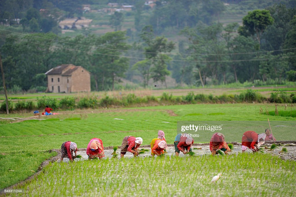 Local farmer's Plants Rice Saplings at Khokana, Patan, Nepal on June 27, 2016. Due to the less rainfall on monsoon season, Most of the people of Khokana Plants Rice by pumping water from nearer Bagmati River, which cost additional of NRs 500 (US$ 5) per hour for pump charge.