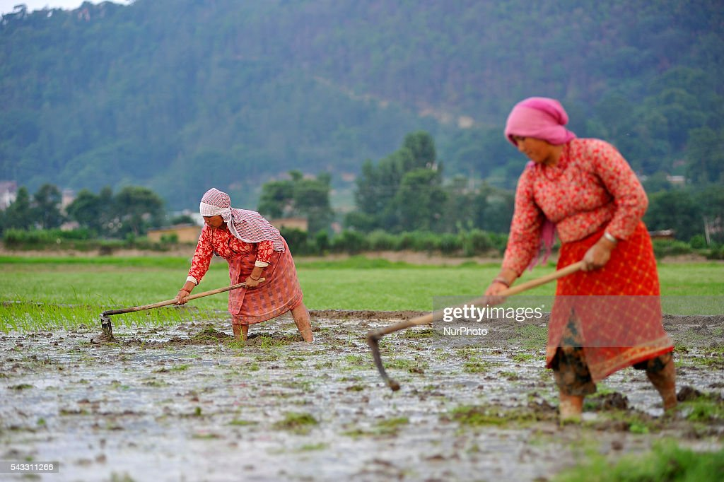 Local farmer's Plough field for Plants Rice Saplings at Khokana, Patan, Nepal on June 27, 2016. Due to the less rainfall on monsoon season, Most of the people of Khokana Plants Rice by pumping water from nearer Bagmati River, which cost additional of NRs 500 (US$ 5) per hour for pump charge.