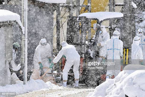 Local officials cull chickens in the snow at a poultry farm in Yamagata in Gifu Prefecture central Japan on Jan 15 after a highly virulent strain of...