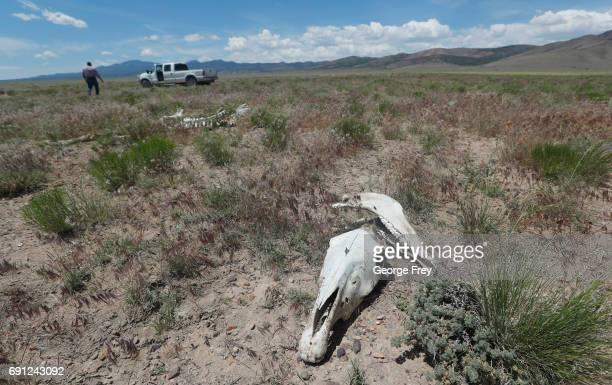 A local rancher walks to his truck as the skull of a wild horse that died of starvation and lack of water lie on state land outside federal...