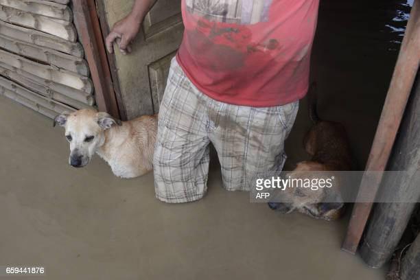 TOPSHOT A local resident and his dogs stand in the doorway of their flooded home in Piura northern Peru on March 28 2017 More than 50000 people have...
