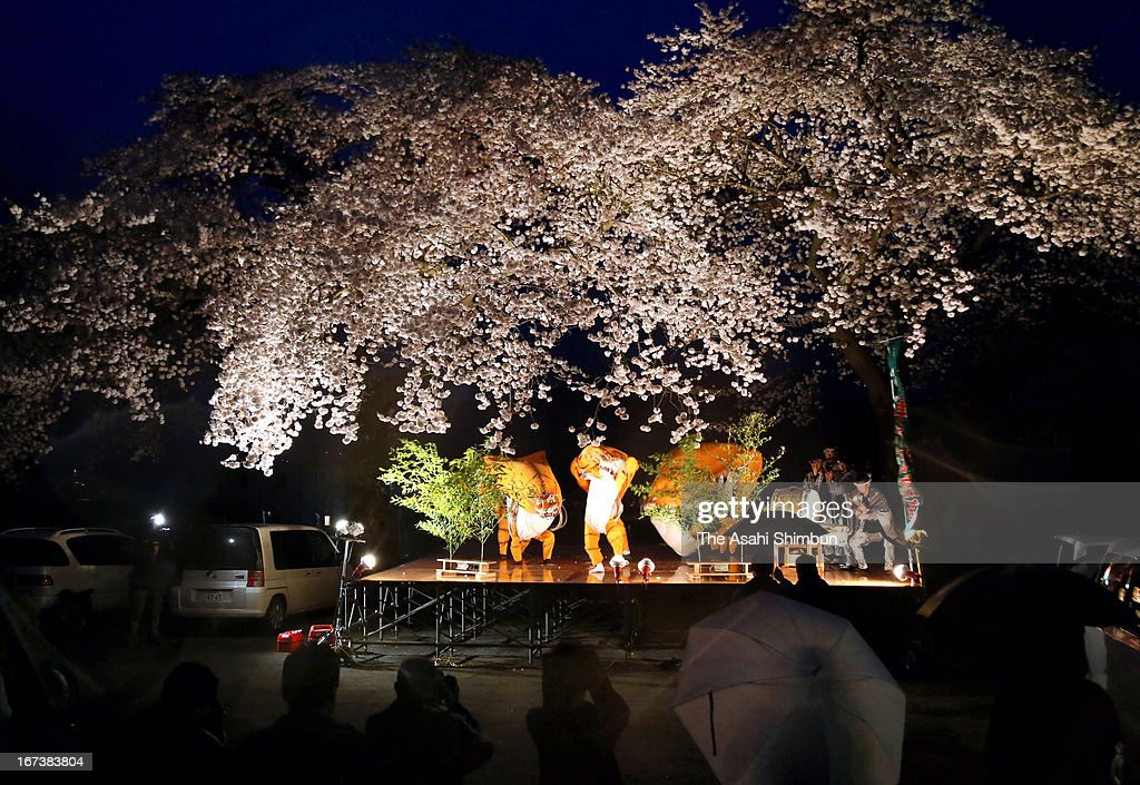Local residents perform the tiger dance under the fully-bloomed cheery blossom at former Akahama Elementary School on April 24, 2013 in Otsuchi, Iwate, Japan. The cherry blossoms are scheduled to cut down to build the houses for evacuees.