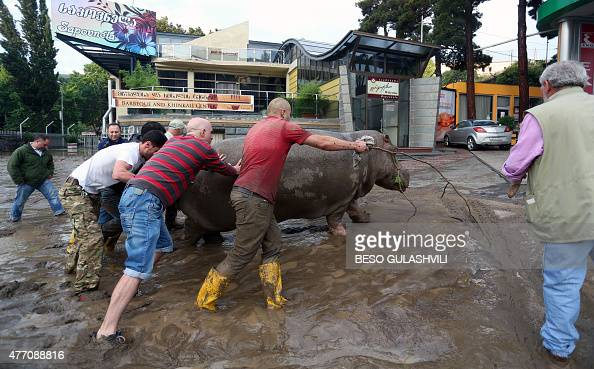 Local residents push a hippopotamus along a flooded street in Tbilisi on June 14 2015 Tigers lions jaguars bears and wolves escaped on June 14 from...