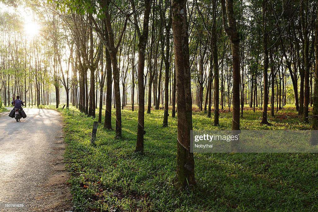 Local road and rubber plants : Stock Photo