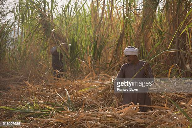 Local sugarcane cutters works in latemorning heat and dust near Qurna a village on the West Bank of Luxor Nile Valley Egypt In Egypt sugar cane juice...