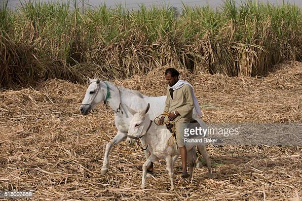 A local sugarcane worker arrives in the field with a horse and mule near Qurna a village on the West Bank of Luxor Nile Valley Egypt In Egypt sugar...