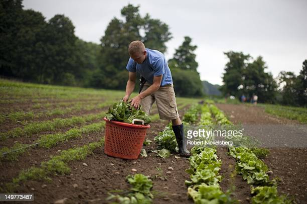 A local Vermont worker Brad Peacock picks organically grown romaine lettuce at the Clear Brook Farm July 24 2012 in Shaftsbury Vermont The farm was...