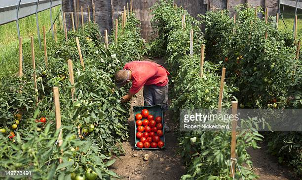 A local Vermont worker Brad Peacock picks organically grown tomatoes at the Clear Brook Farm July 23 2012 in Shaftsbury Vermont The farm was started...