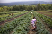 Local Vermont workers pick organically grown squash and zucchini at the Clear Brook Farm July 24 2012 in Shaftsbury Vermont The farm was started in...