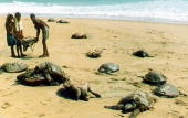 Local villagers remove the carcassses of endangered olive ridley sea turtles strewn at Gahirmatha Beach on the Orissa coast some 60Kms east of...