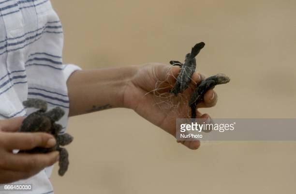 Local volunters and villagers help newly hatched Olive Ridley turtle chicks to enters into the Bay of Bengal Sea at the Rushikulya River mouth beach...