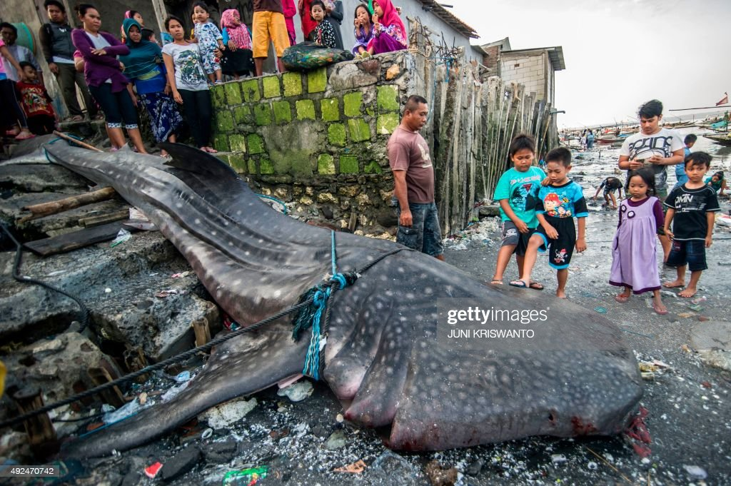 Locals gather around the carcass of a dead whale shark caught by fishermen in the sea off of Surabaya on the East Java island on October 12 2015...