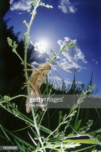 Locust on grass, close up : Stock Photo