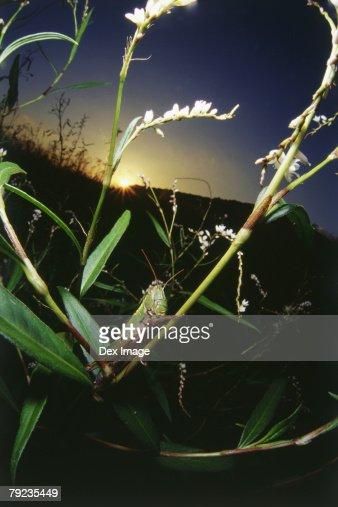 Locust on stem at sunset : Stock Photo
