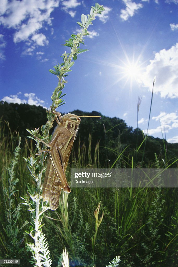 Locust on stem, close up : Stock Photo