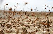 locust on the move