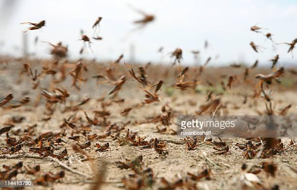 Locust en mouvement