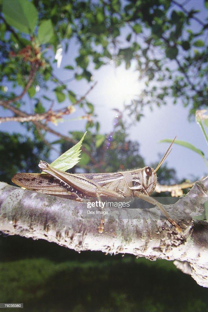 Locust on tree branch, close up : Stock Photo