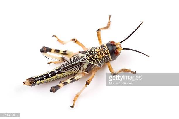 Locust XXL