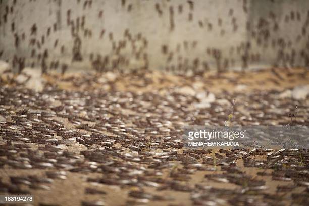 Locusts cluster on the ground on March 6 2013 in the Israeli village of Kmehin in the Negev Desert near the Egyptian border According the UN Food and...
