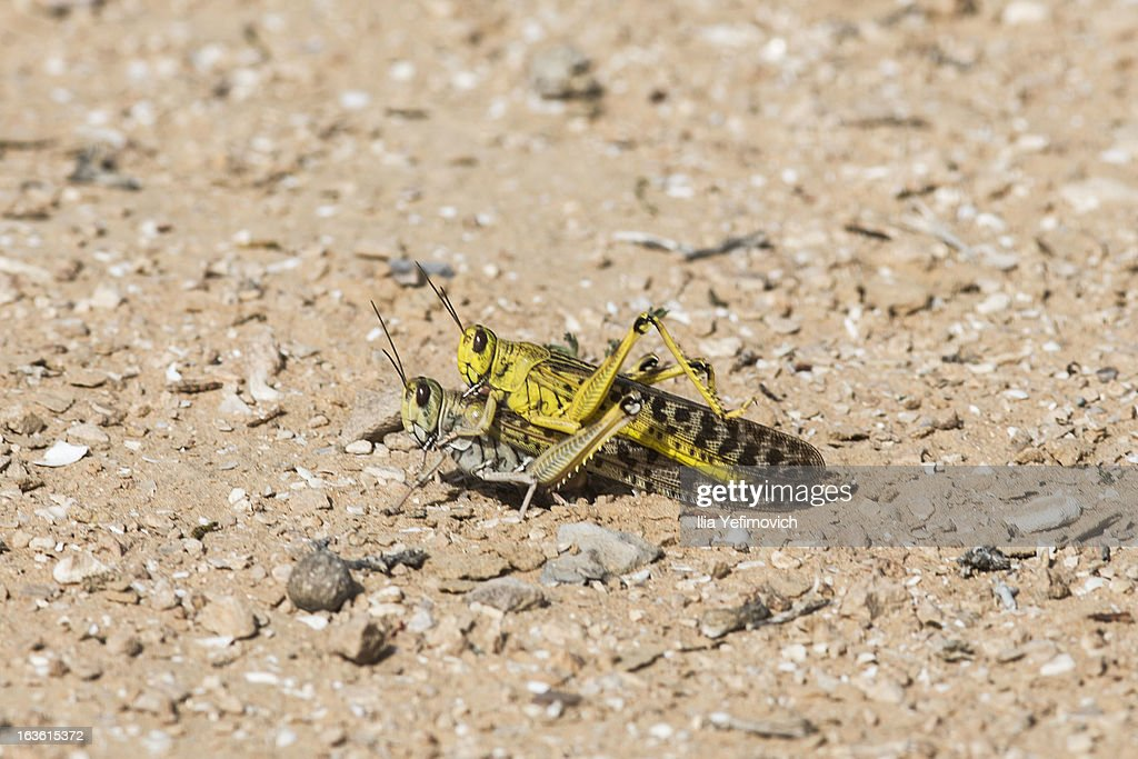 Locusts mate in a dry field on March 13, 2013 in Bir Hadage, Israel. Egypt and Israel have been swarmed with millions of locusts over the past few days causing wide spread disturbances.