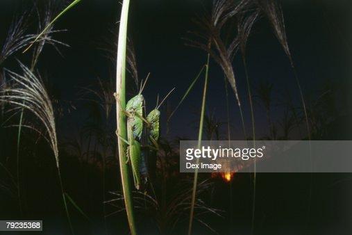 Locusts mating at sunset : Stock Photo