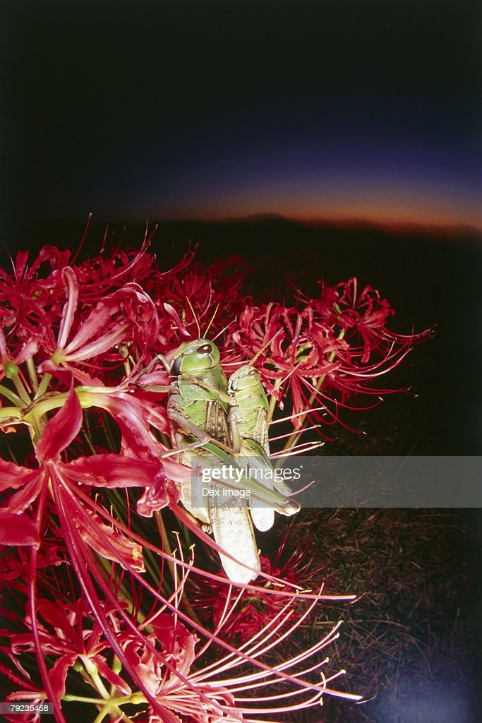 Locusts mating at sunset : Stock Photo