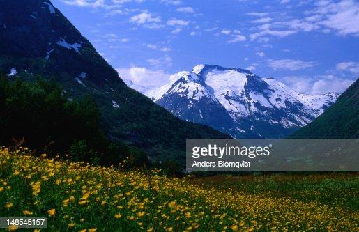 Lofjellet peak towers above fields of springflowers.