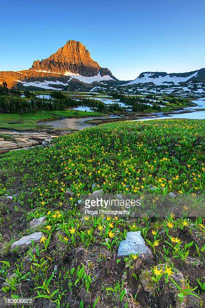 Logan pass wildflowers