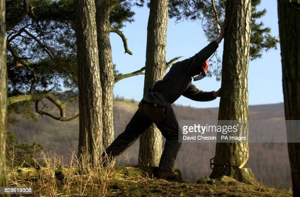 A logger pushes over a tree in a forest in the Scottish Borders after starting work cutting it down Scotland is the most wooded area in the UK and...