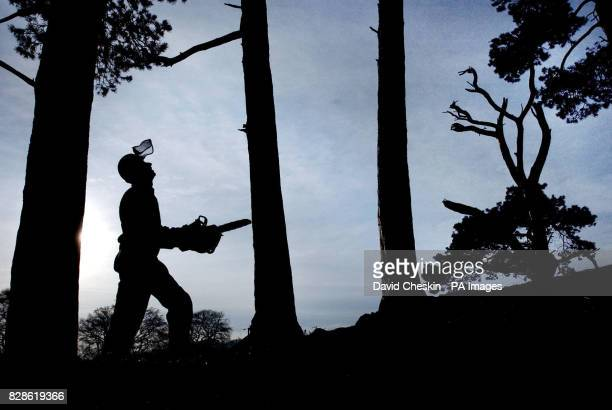 A logger stands in a forest in the Scottish Borders before work begins on cutting trees down Scotland is the most wooded area in the UK and one of...