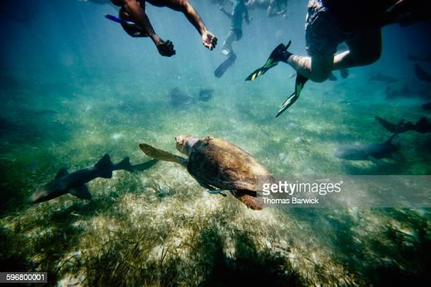 Loggerhead sea turtle Nurse sharks and snorkelers