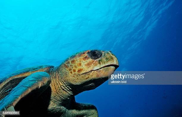 Loggerhead turtle Caretta caretta Netherlands Antilles Bonaire Caribbean Sea