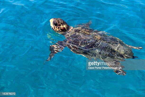 Loggerhead Turtle ( Carreta caretta )