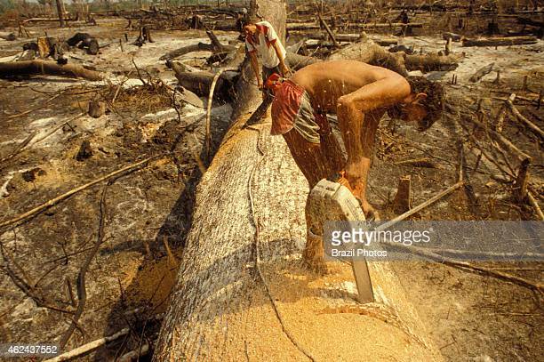 Logging Amazon rainforest clearance workers cut down a large tree with chainsaw in a slashedandburned patch of forest