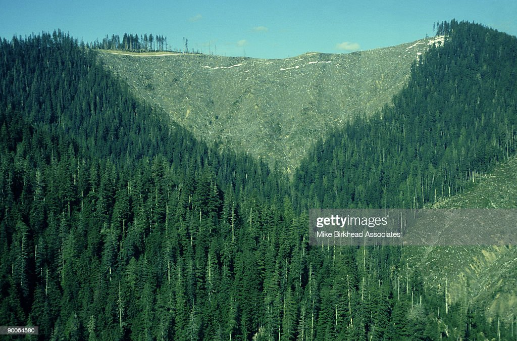 Logging old growth forest: trees, 500 yrs old douglas fir   Washington State, USA : Stock Photo