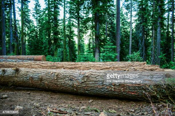 Logs on forest floor