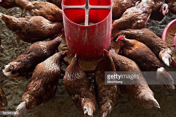 Lohmann Brown chickens eat organic feed in a barn at Meadow Haven Farm a certified organic family run farm in Sheffield Illinois US on Tuesday Aug 4...